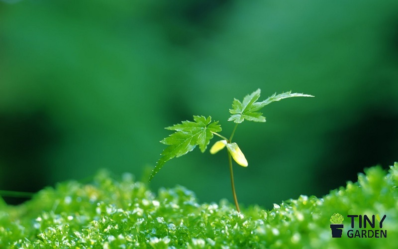 Mạng Mộc nên trồng cây gì?