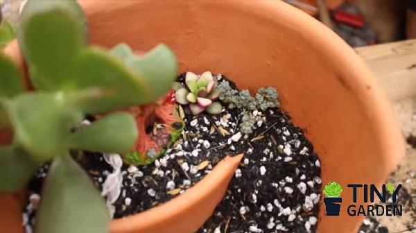 Trồng sen đá 3 màu và sedum hoa hồng