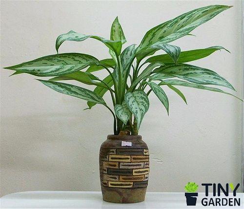 Cây ngọc ngân được dùng làm cây nội thất sang trọng