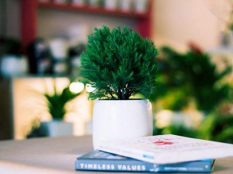 Cách chăm sóc cây tùng bồng lai – tổng hợp những thông tin cần biết