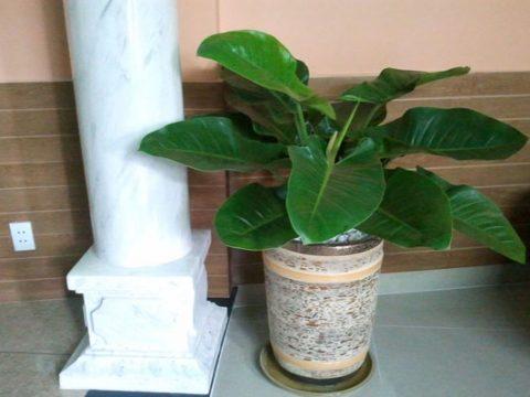 Cách trồng và cách chăm sóc cây trầu bà đế vương phong thủy
