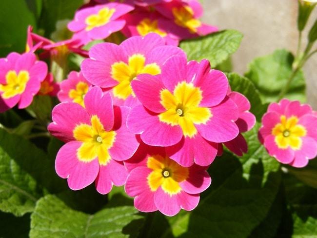 Trồng và chăm sóc cây hoa anh thảo đúng kỹ thuật
