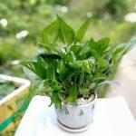 Cách trồng và chăm sóc cây vạn niên thanh