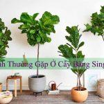 6 Bệnh thường gặp ở cây bàng Singpapore và cách xử lý